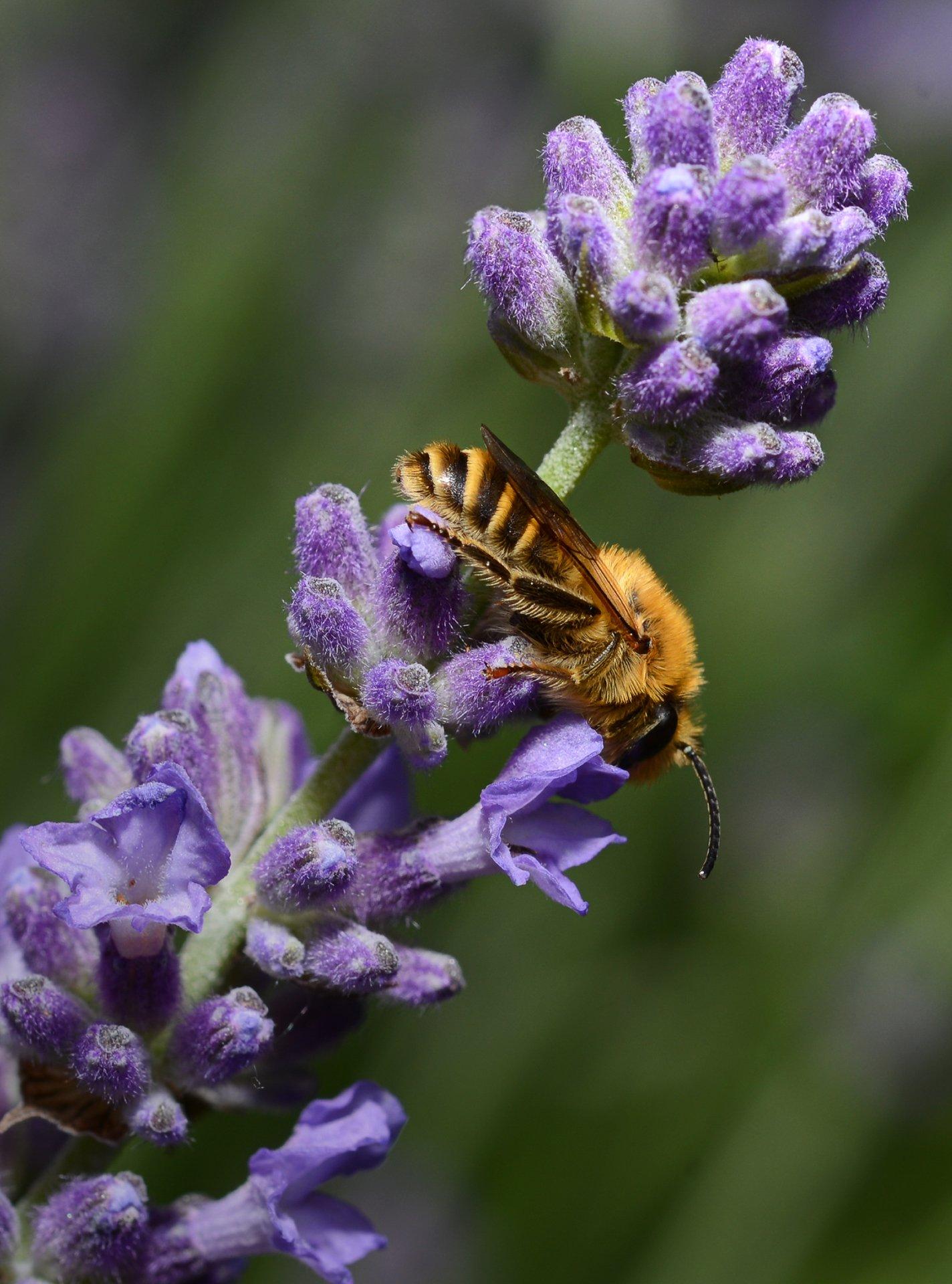 природа, макро, растение, лаванда, насекомое, пчела, Неля Рачкова