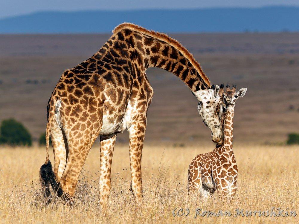 жираф, малыш, детёныш, саванна, кения, любовь, материнство, ласка, Роман Мурушкин