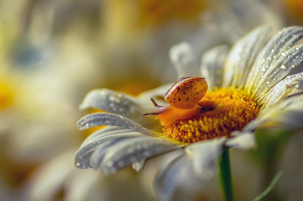 ромашка улитка цветы роса, Марина Мурашова