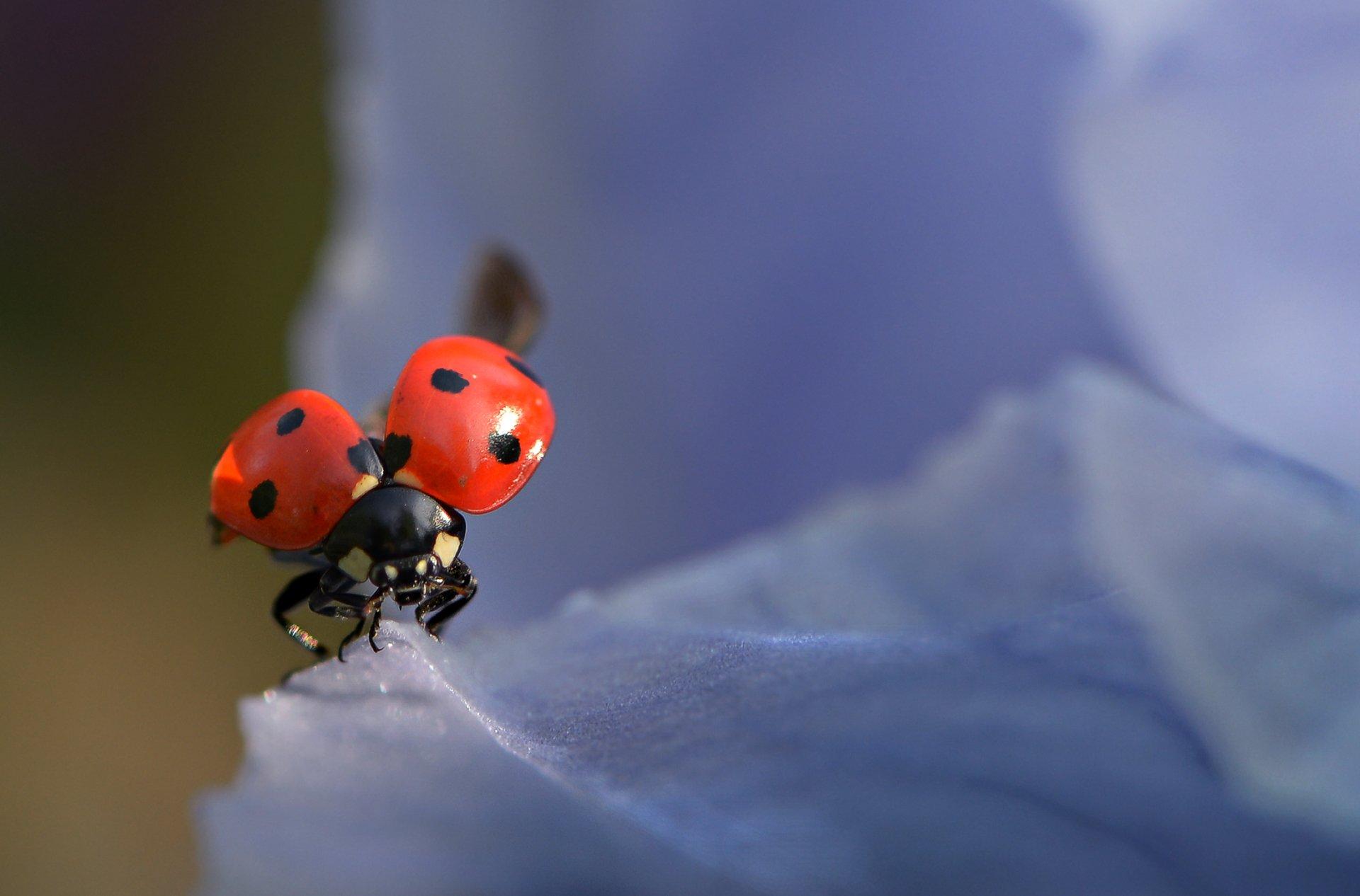 природа, макро, насекомое, жук, божья коровка, первый полет, Неля Рачкова