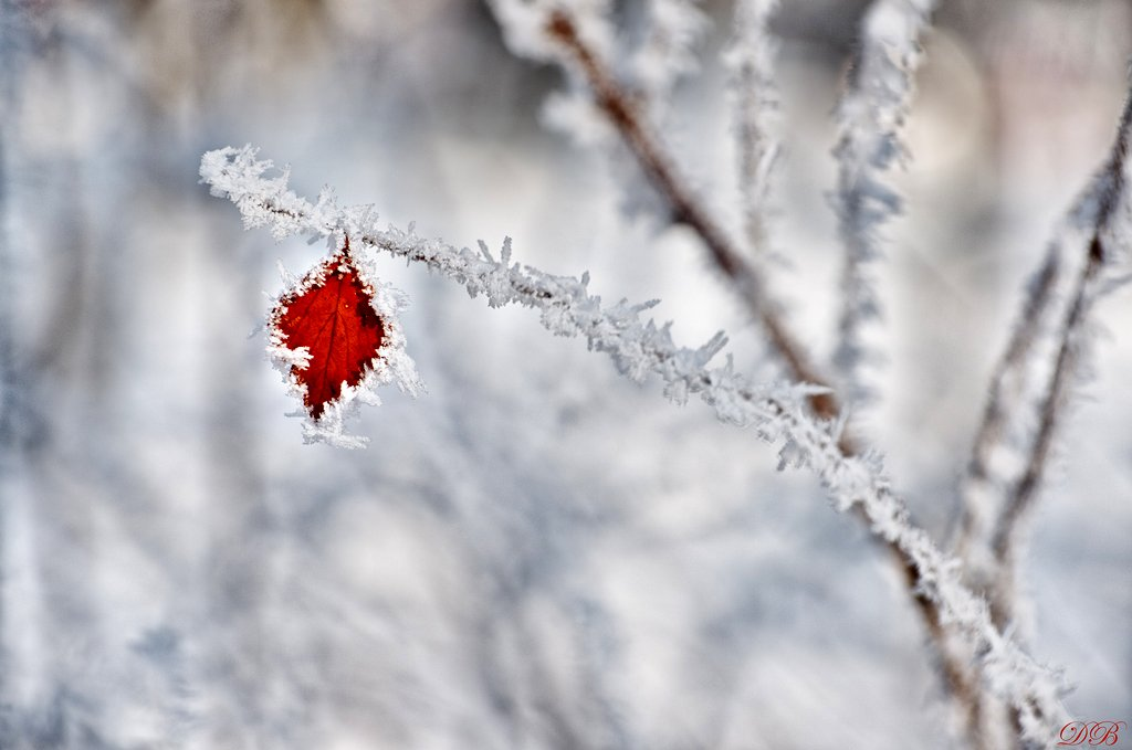 nature, frost, frosted, snow, ice, leaf, brown, branch, glow, winter, color, colors, color image, photography, white, light,, Dr Didi Baev
