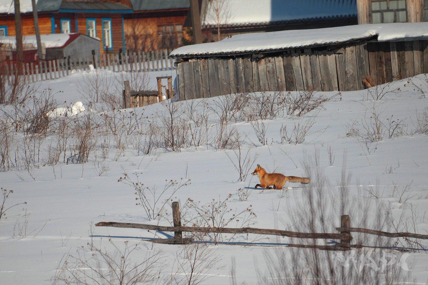 животные лиса зима, Шангареев Марс