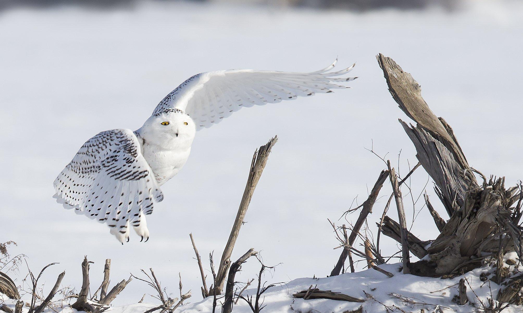 harfang / snowy owl / strix nebulosa, Jacques Falardeau