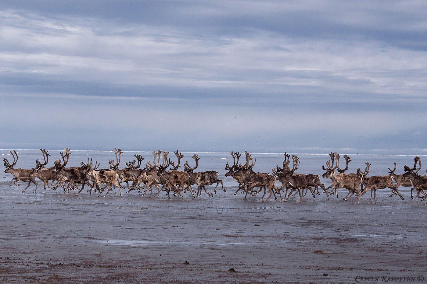море лаптевых, олени, Сергей Карпухин