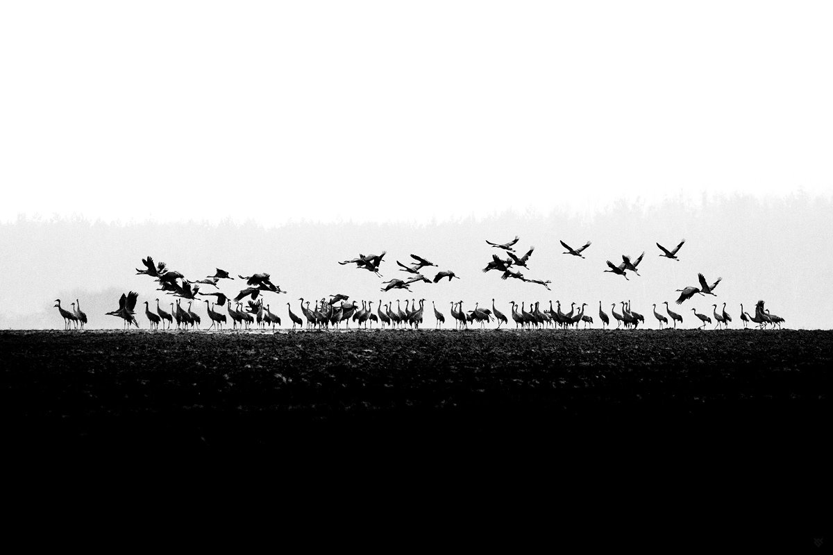 brids, wildlife, bw, grus grus, common crane, Wojciech Grzanka