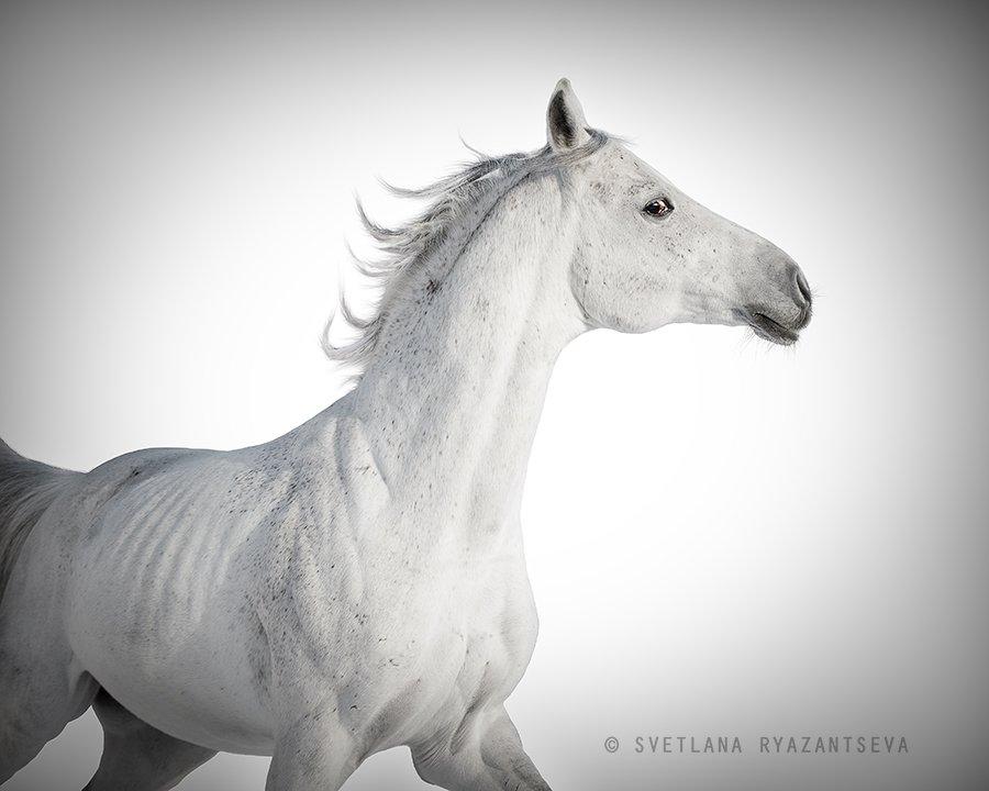 arab, arabian, beautiful, breed, equestrian, equine, gallop, grey, head, horse, isolated, motion, portrait, purebred, stallion, white, лошадь, лошади, арабская, арабский, жеребец, серый, серая, белый, Svetlana Ryazantseva