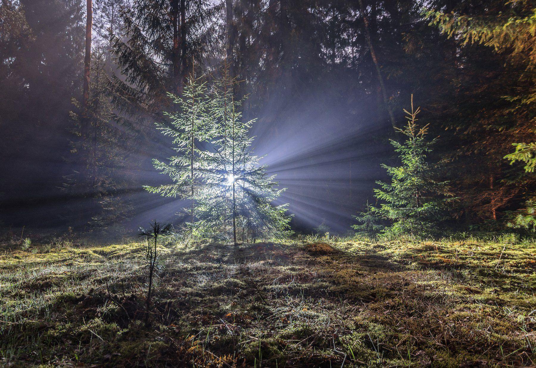 весна свет ночь туман влажность лес поляна трава зелень ель беларусь пуща, Попков Александр