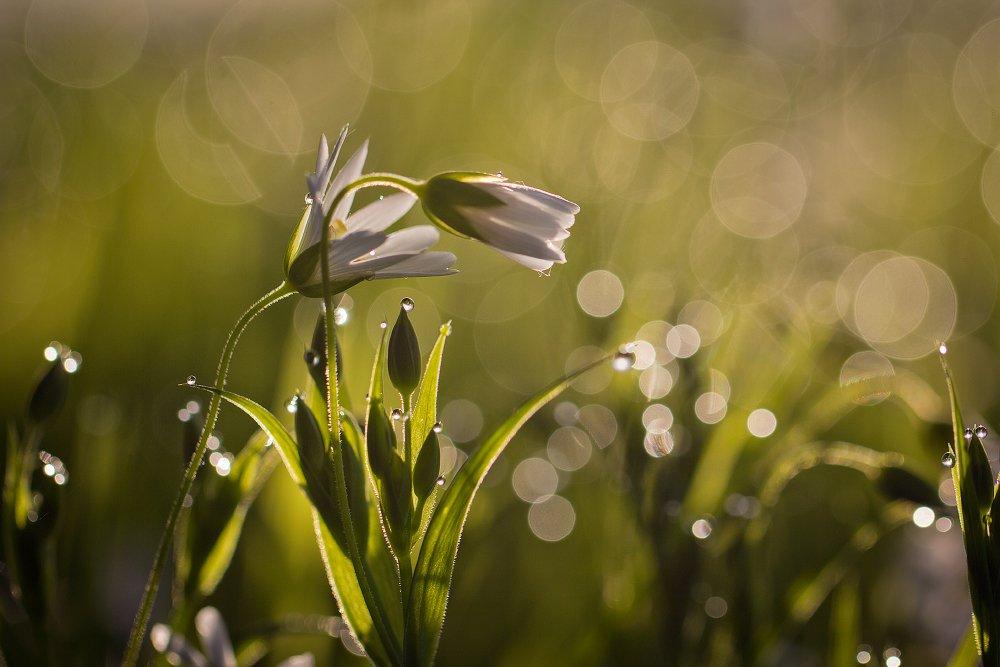 макро,роса,весна, Андрей Дитковский