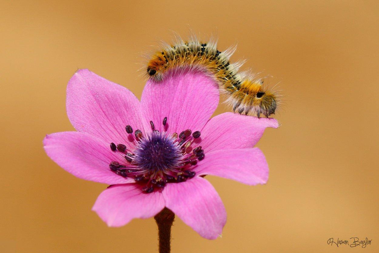 caterpillar,anemone,pink,macro,nature,cyprus, Hasan Baglar