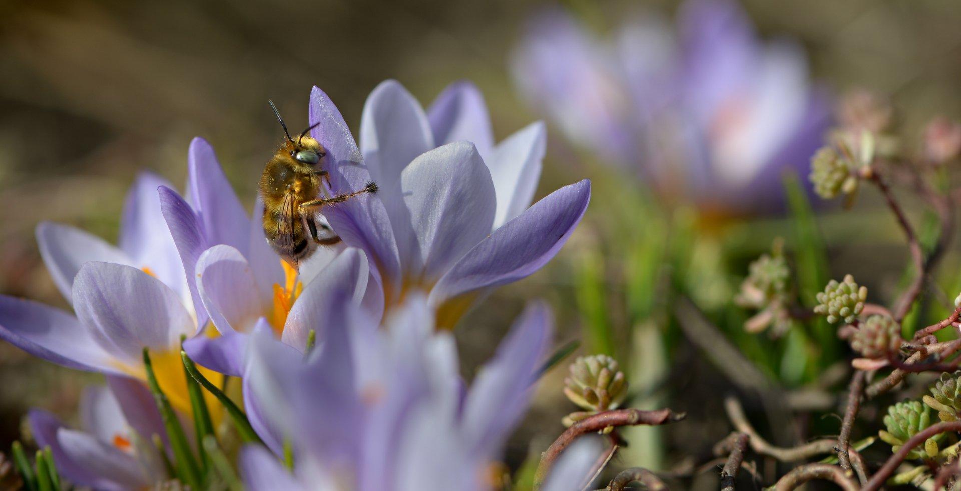 природа, макро, весна, цветы, крокус, насекомое, пчелка, Неля Рачкова