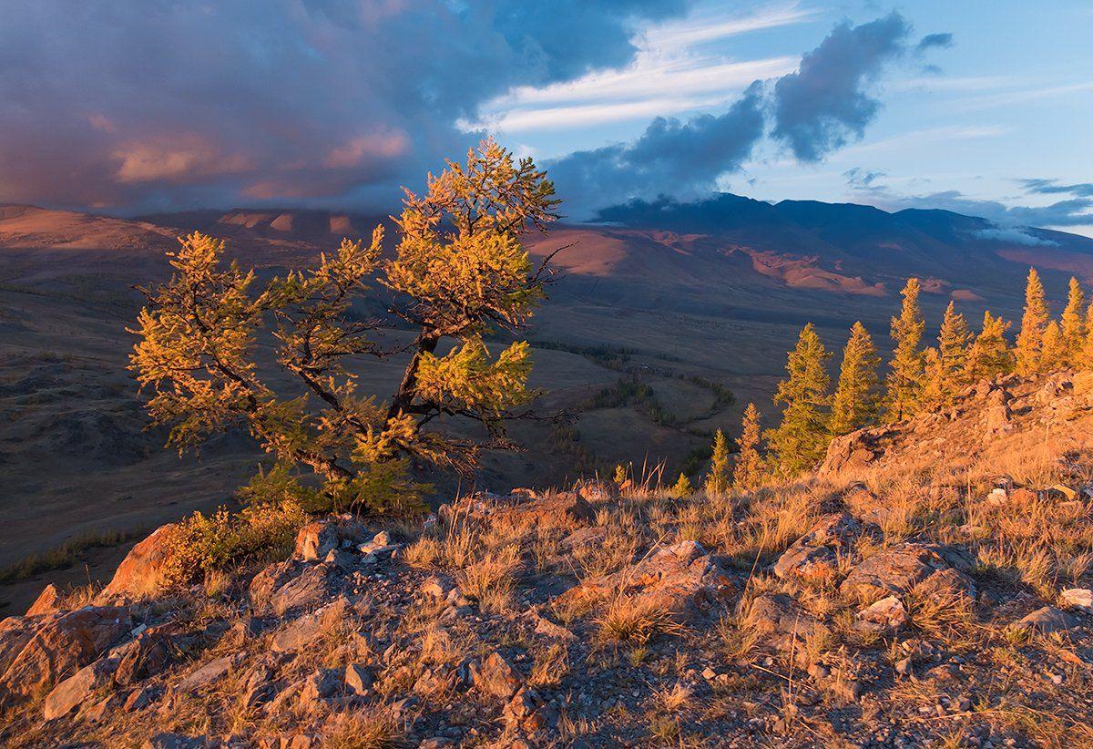 золотой, вечер, закат, лиственницы, горы, алтай, курай, Валерий Пешков