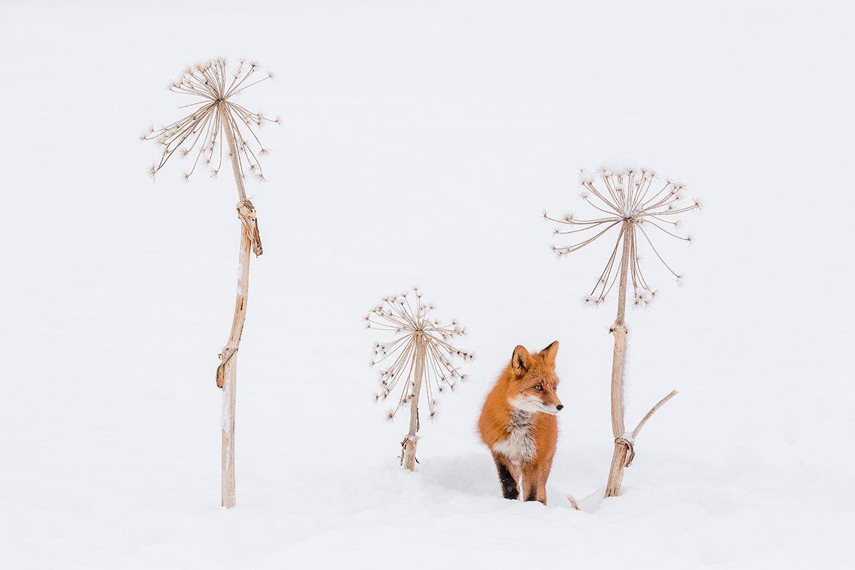 камчатка, зима, лиса, природа, путешествие, снег, Денис Будьков
