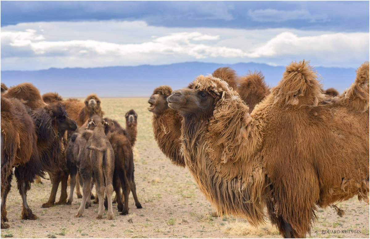 Кутыгин, Монголия, горы, стада, весна, май, верблюд, стадо, Кутыгин Эдуард
