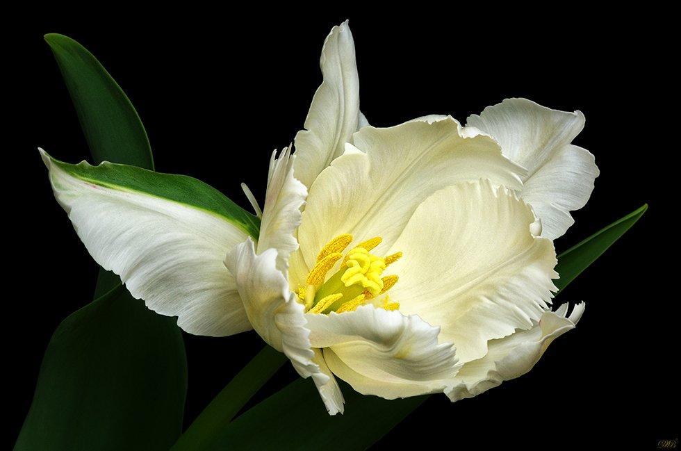 art, black, color, colors, color image, fine art, flower, flowers, green, image, light, macro, nature, natural light, parrot, photography, tulip, tulips, white,, Dr Didi Baev