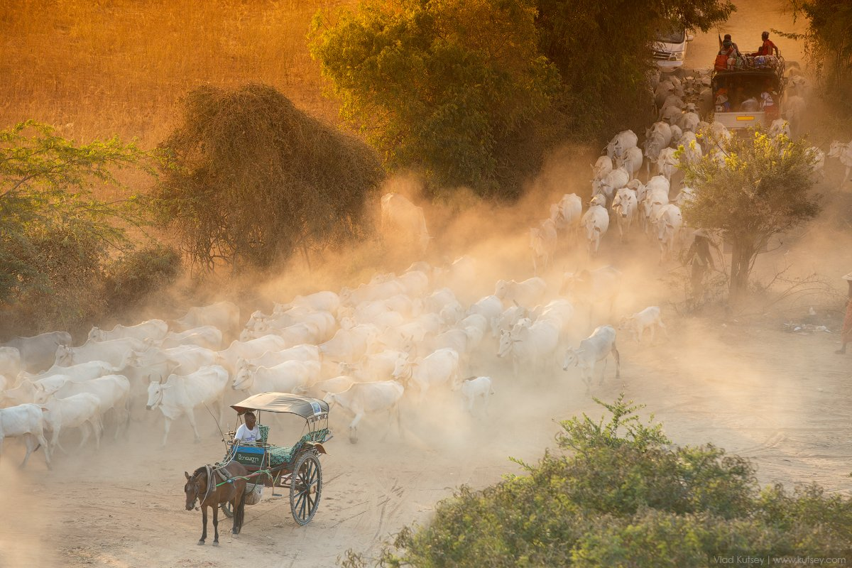 баган, мьянма, бирма, свет, закат, коровы, burma, myanmar, Владимир Куцый