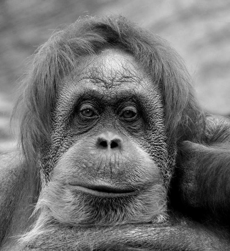зоопарк, приматы, орангутанг, Вадим