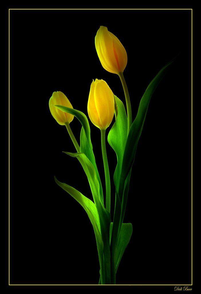 art, black, color, colors, color image, fine art, flower, flowers, green, image, light, macro, nature, natural light, photography, tulip, tulips, yellow,, Dr Didi Baev