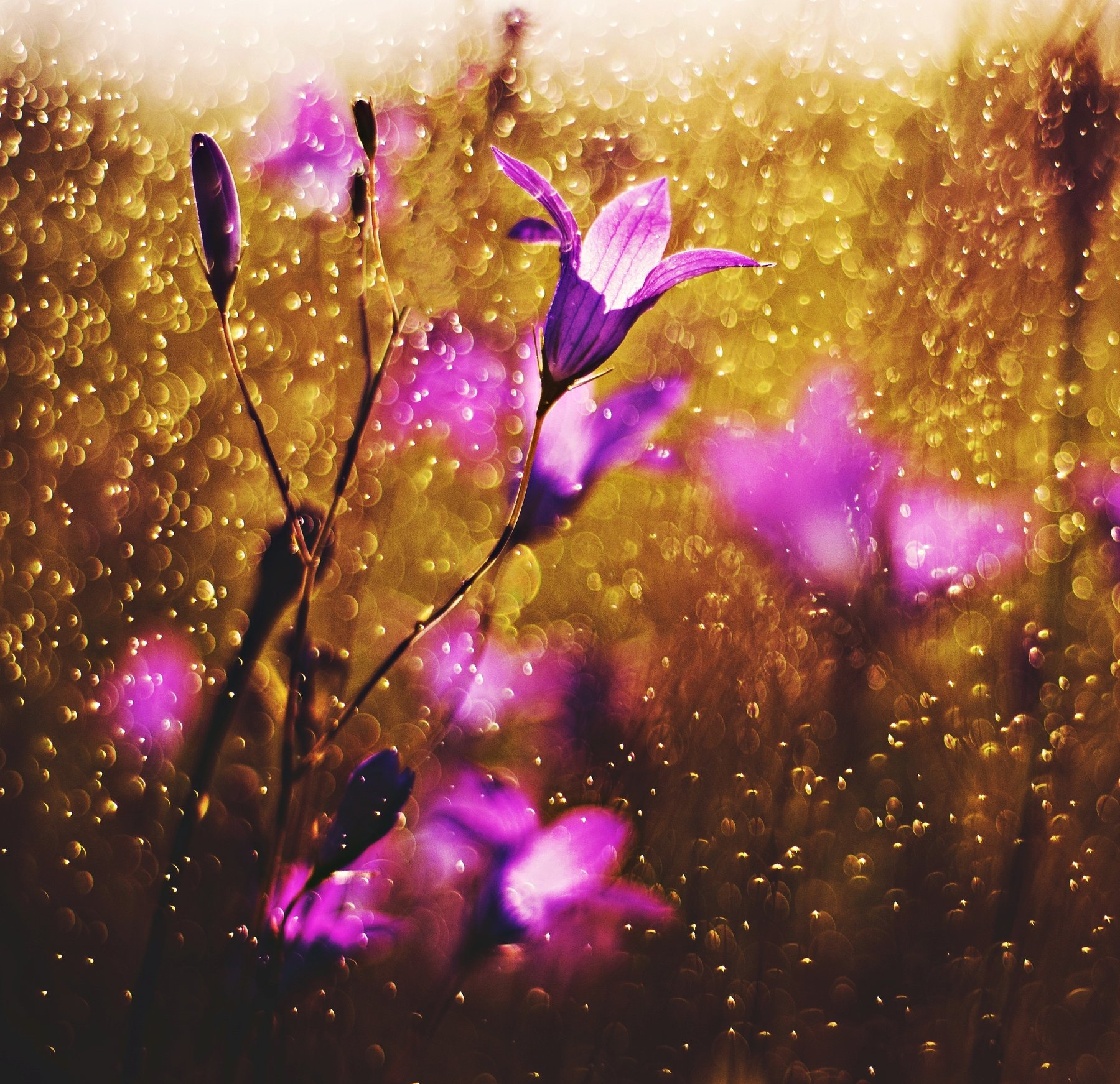 nature, nikon, flower, evening, pink, nice, Diva