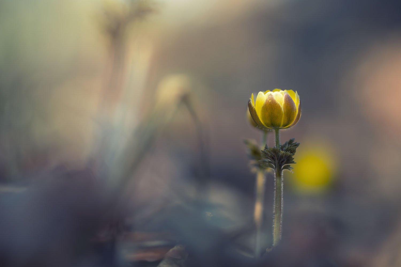 адонис амурский, приморье, цветы, Шинкарева Елена