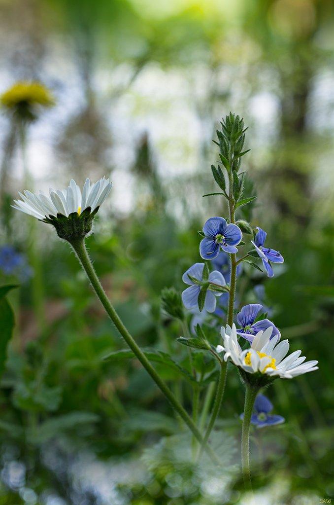 bokeh, blue, close-up, color, colors, color image, flower, flowers, green, image, macro, nature, photography, white,, Dr Didi Baev