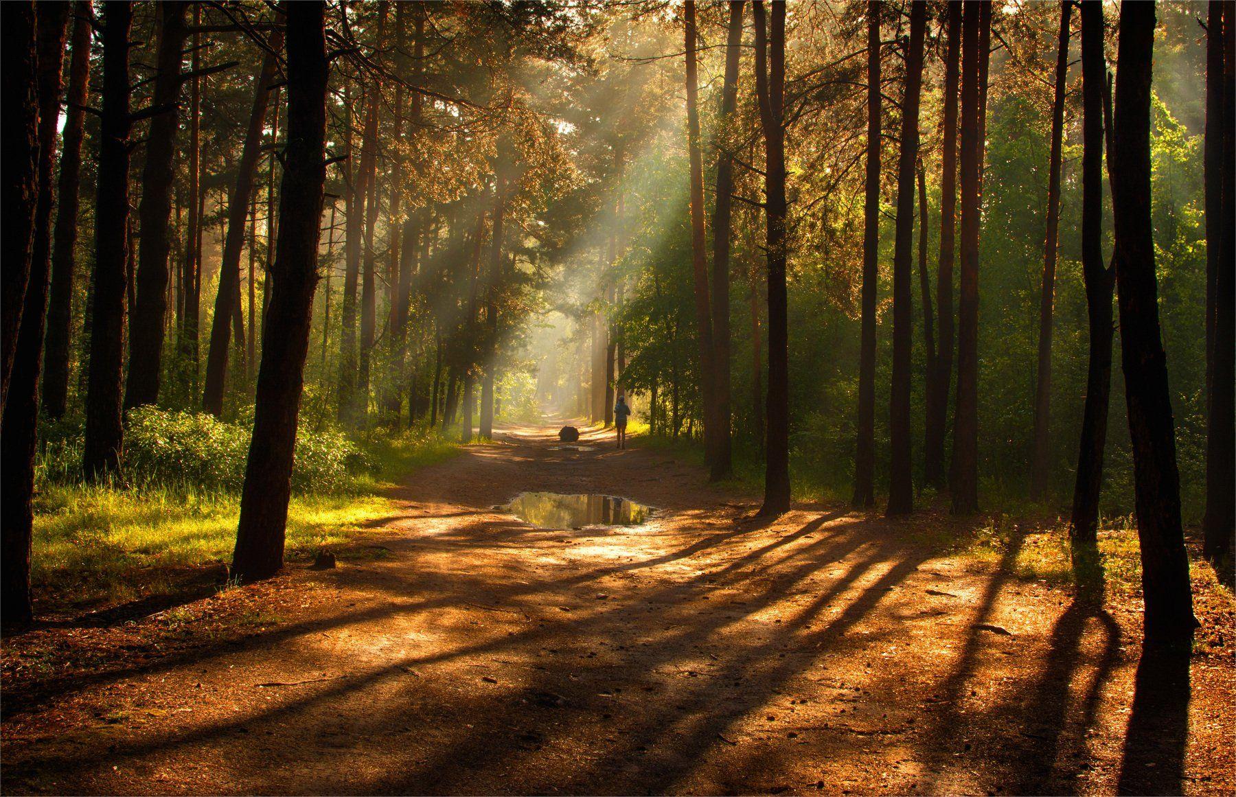 landscape, пейзаж, утро, лес, сосны, деревья, солнечный свет, солнечные лучи, солнце, природа, весна, лужи, спортсмен, Михаил MSH