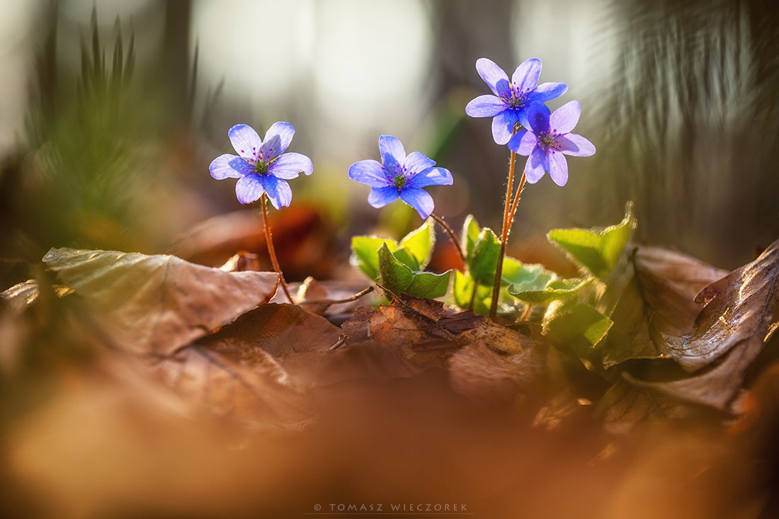 softness, beautiful, colours, spring, forest, light, morning, poland, flowers, plants, Tomasz Wieczorek