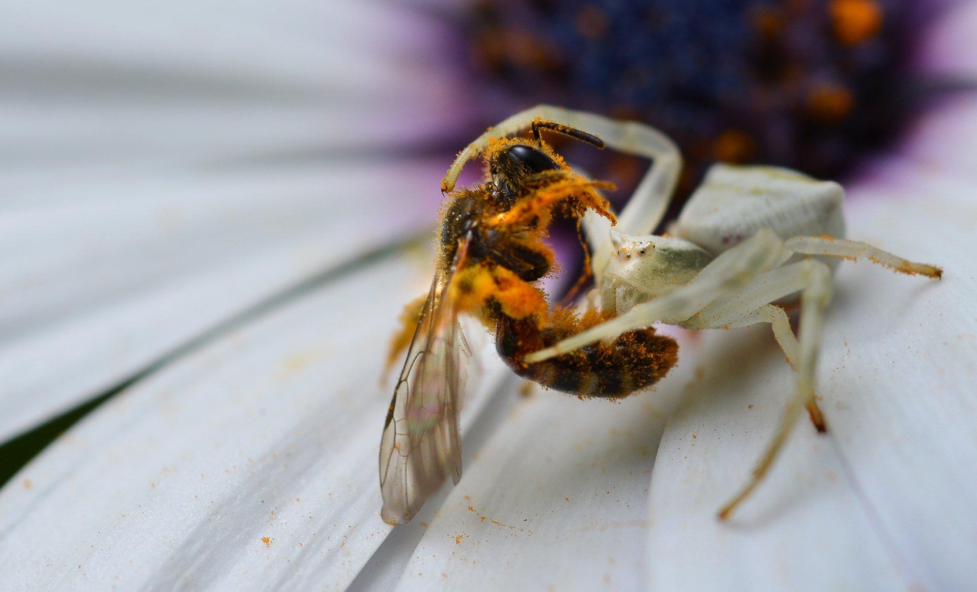 природа, макро, хищник и жертва, паук, мизумена, пчела, Неля Рачкова