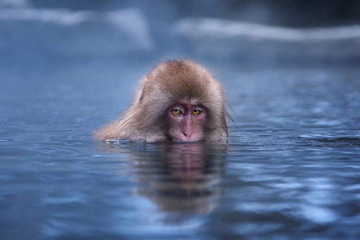 япония, обезьяна, Slavado
