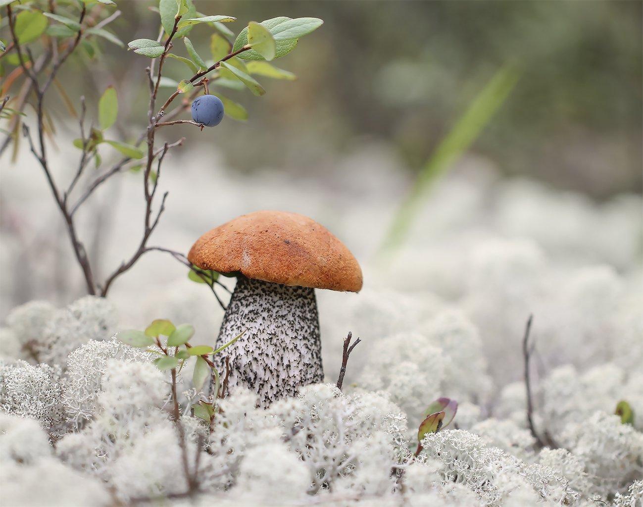 подосиновик, якутия, нерюнгри, голубика, мох, ягель, Евгения Левина