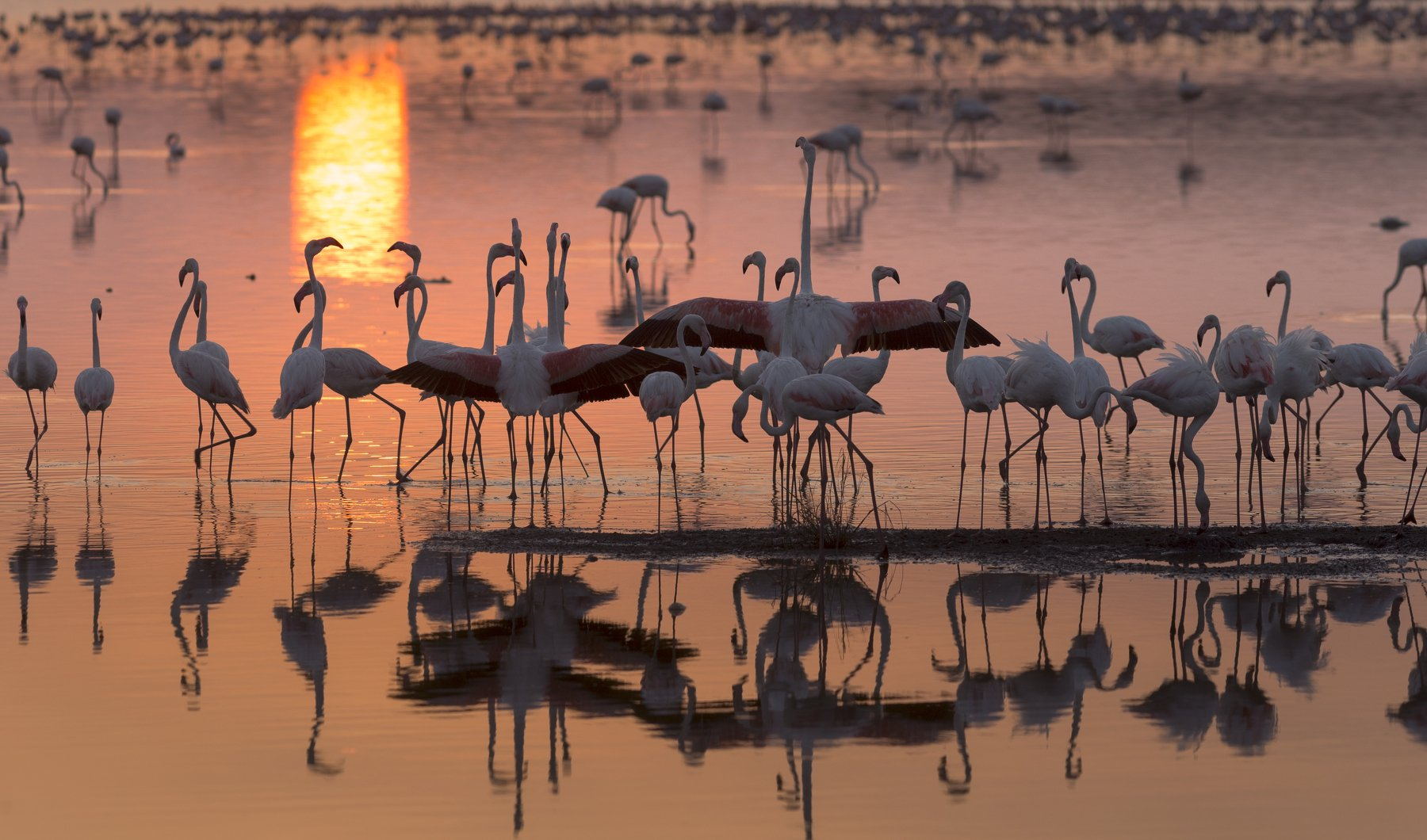flamingo, flamingos, lake, water, phoenicopterus, bird, sunrise, animal, pink, wild, sunset, flock, national, long, park, nature, ruber, background, birds, closeup, colorful, group, Гайдабуров Сергей