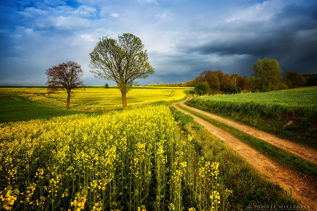 storm, fields, yellow, green, polish, poland, colours, sprong, trees, colza, clouds, sunset, sunrise, Tomasz Wieczorek