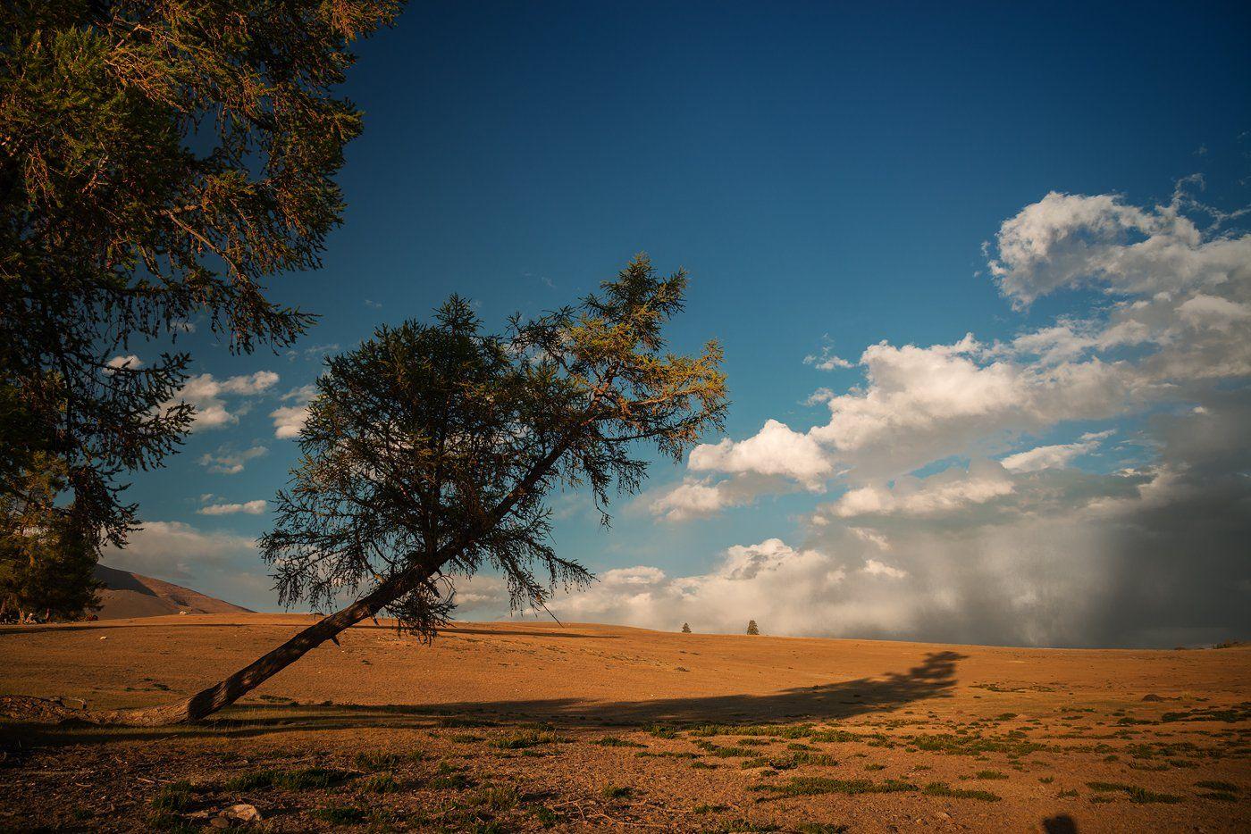 пейзаж, природа, вечер, теплый, Курай, Алтай, Сибирь, облака, дерево, падает, покосилось, синий, желтый, зеленый, красивая, большой, высокий, Дмитрий Антипов