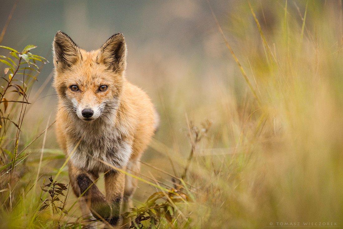 fox, fuchs, red fox, wildlife, poland, hide, autumn, fields, grass, wild, eye, silence, Tomasz Wieczorek