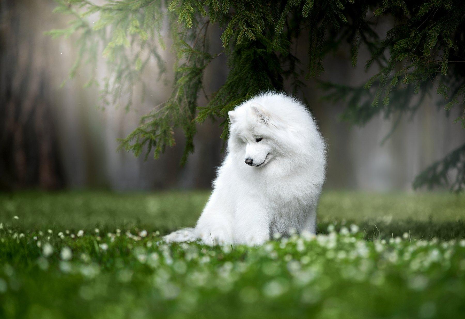 собака, самоед, весна, лес, Светлана Писарева