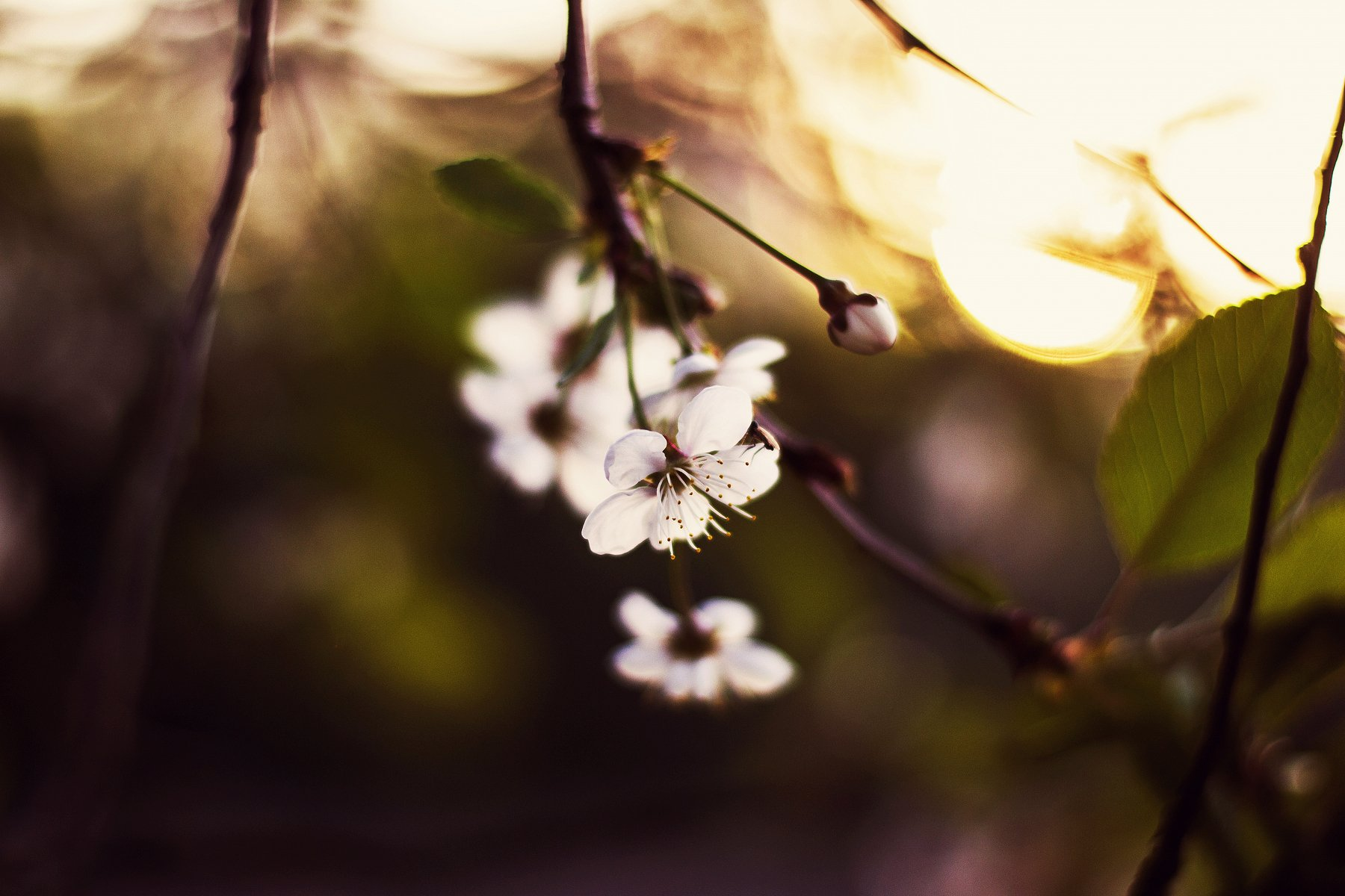 nature, flower, evening, , Diva