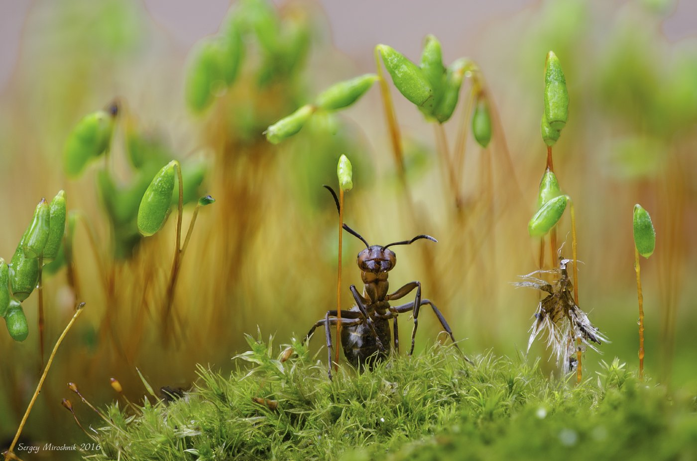 макро, муравей, насекомое, природа, мох, весна, апрель,, Сергій Мірошник
