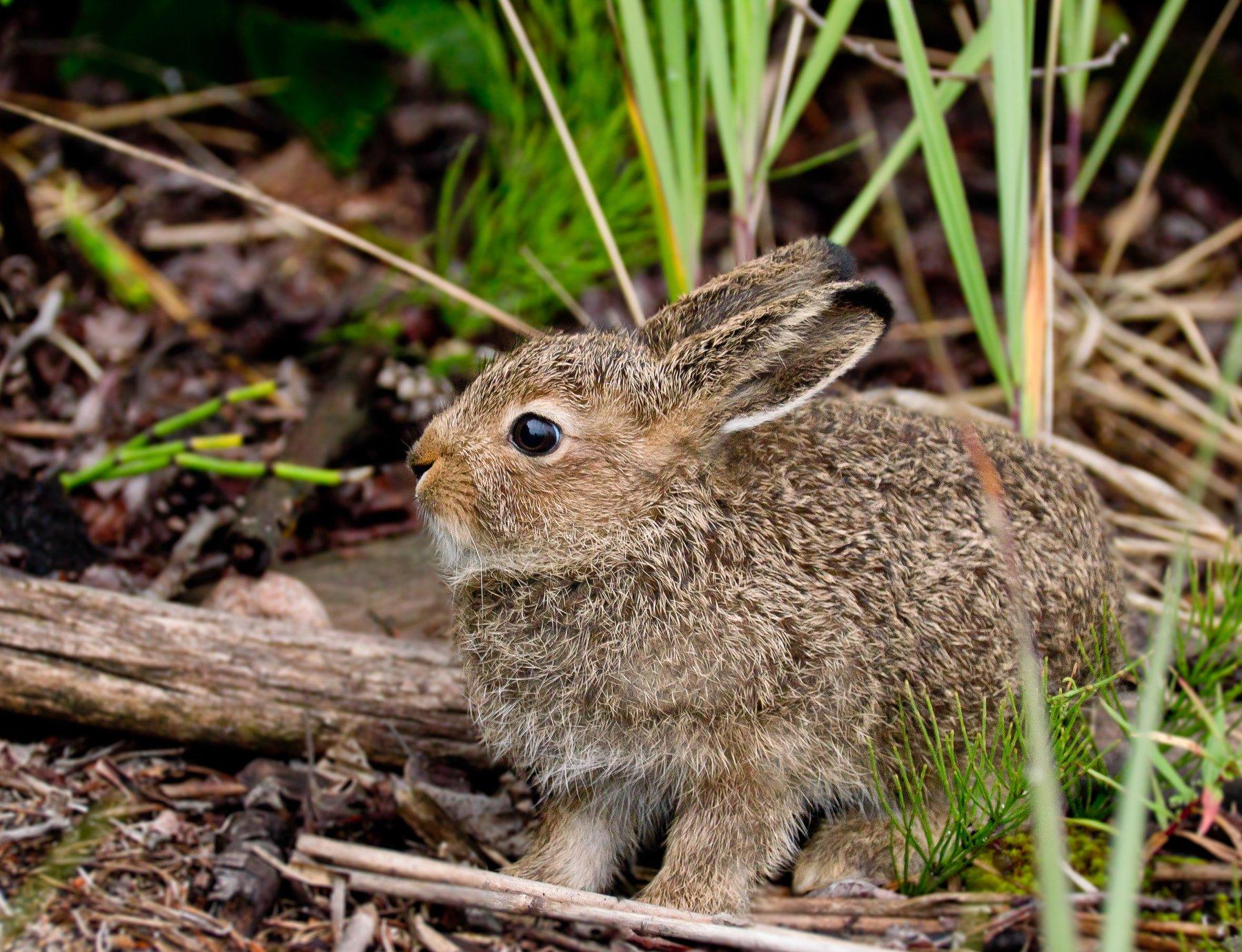 lepus timidus, заяц, беляк, зайчонок, уши, серый, лето, север, карелия, клим-нос, животное, млекопитающее, грызун, кроха, испуг, дикая природа, Соварцева Ксюша