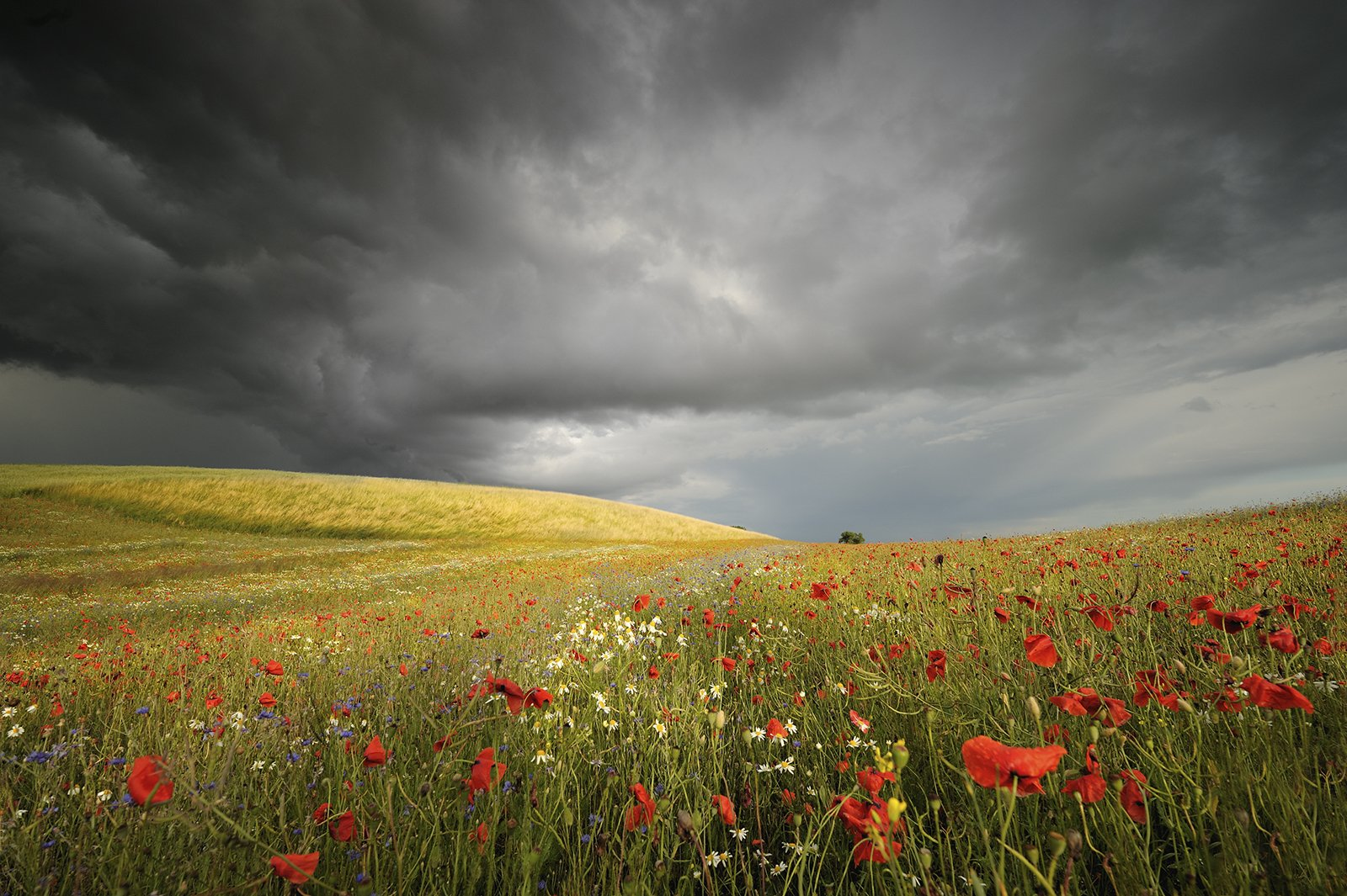 outdoor, grain, blooming, meadow, grow, natural, green, storm, spring, dramatically, petal, red, flower, field, botanical, ears, panoramic, sunny, grass, summer, sun, clouds, anxiety, flora, poppy, garden, grimly, blue, sky, plants, background, wild, natu, Jan Siemiński