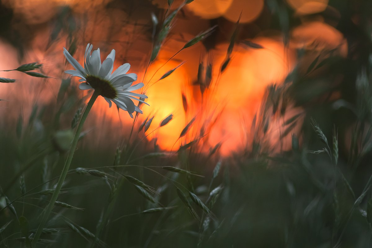 flower, sunset, nature, Gabriel Prescornita