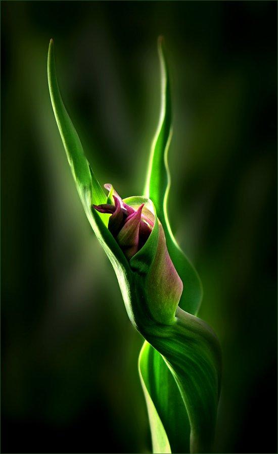 цветы, растение, флора, природа, тюльпан, ЦокоТушка