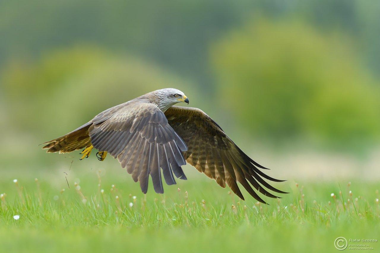 black kite, birds, nature, animals, wildlife, meadow, flight, fight, green, spring, colors, spring, nikon, nikkor, nowa sol, lubuskie, poland, Rafał Szozda