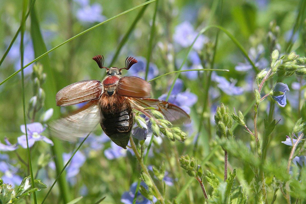 майский жук, макро, насекомые, июнь., Шангареев Марс