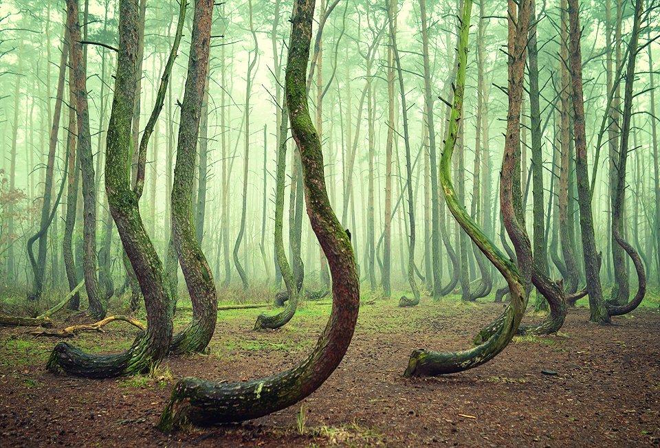 crooked forest mist magic green tree trees foggy poland, Radoslaw Dranikowski