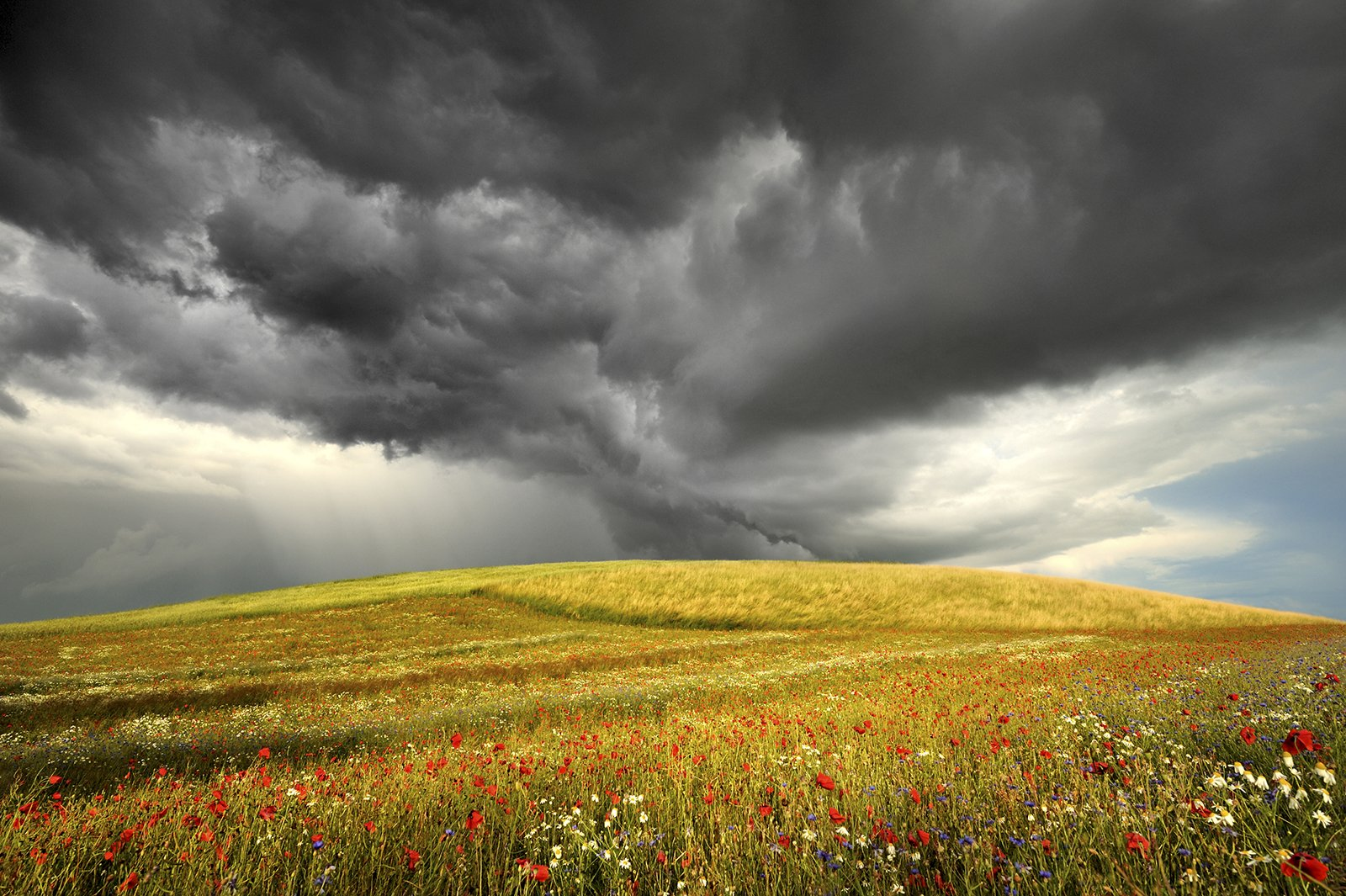 background, blooming, blue, botanical, clouds, cornflowers, dramatically, ears, field, flora, flower, garden, grain, grass, green, grimly, grow, idyllic, landscape, meadow, natural, nature, outdoor, panoramic, papaver, petal, plants, poppy, red, rhoeas, s, Jan Siemiński
