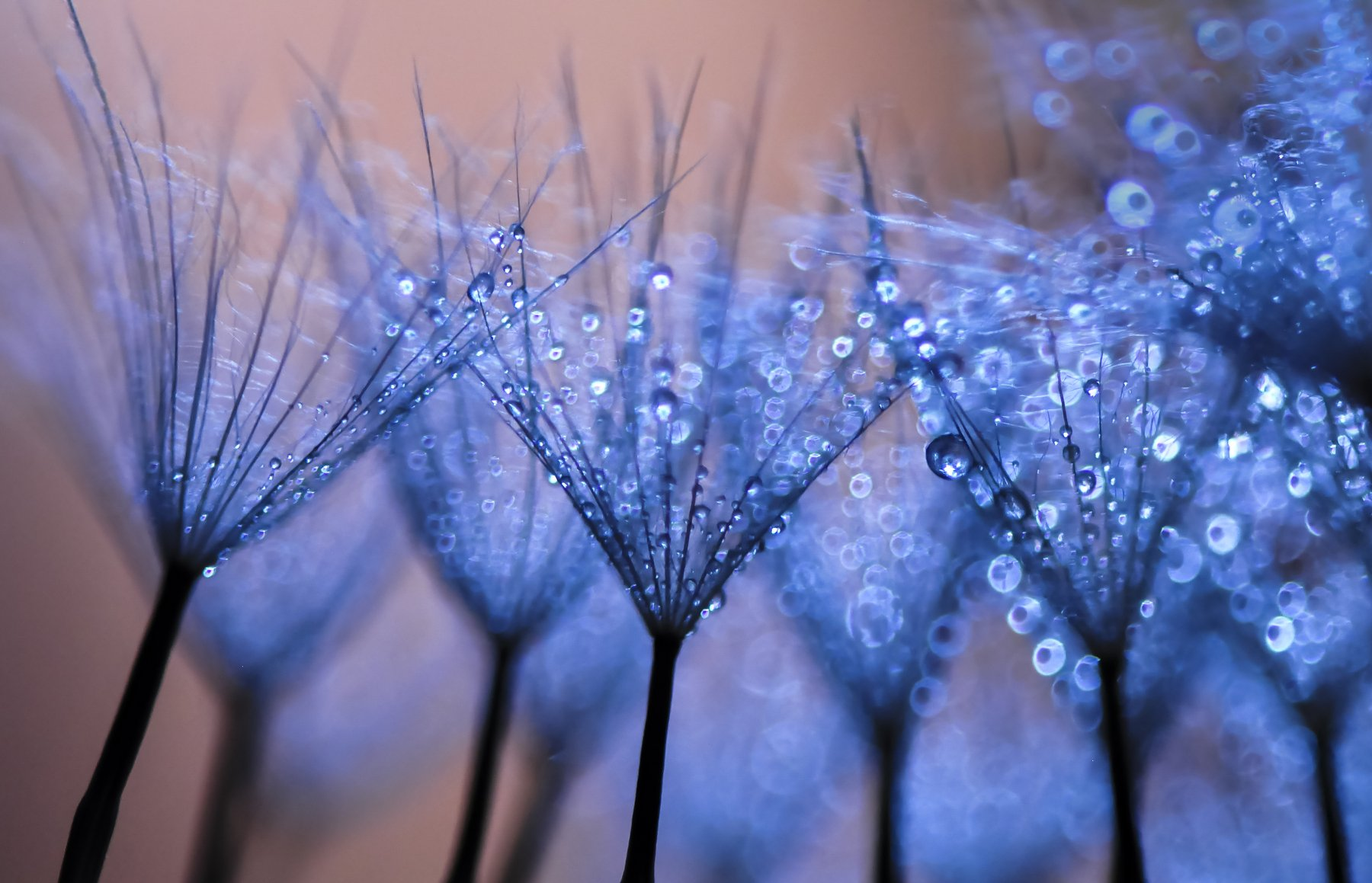 water, macro, light, drops, drop, dandelion, droplet, bokeh,droplets,reflection, вода, макро_свет, капли, Ивелина Благоева