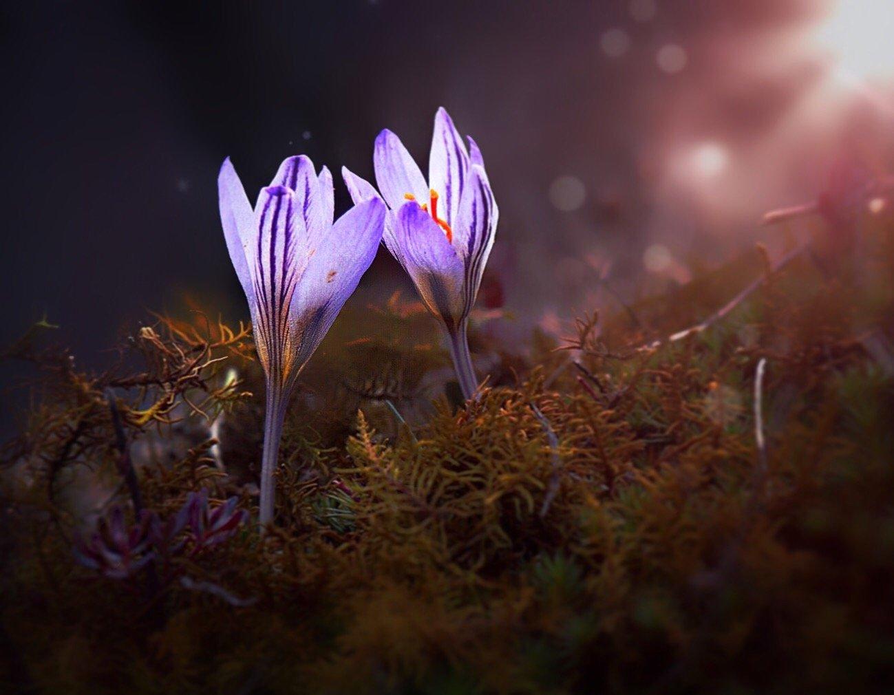 крокусы, цветы, флора, весна, Полина Серова