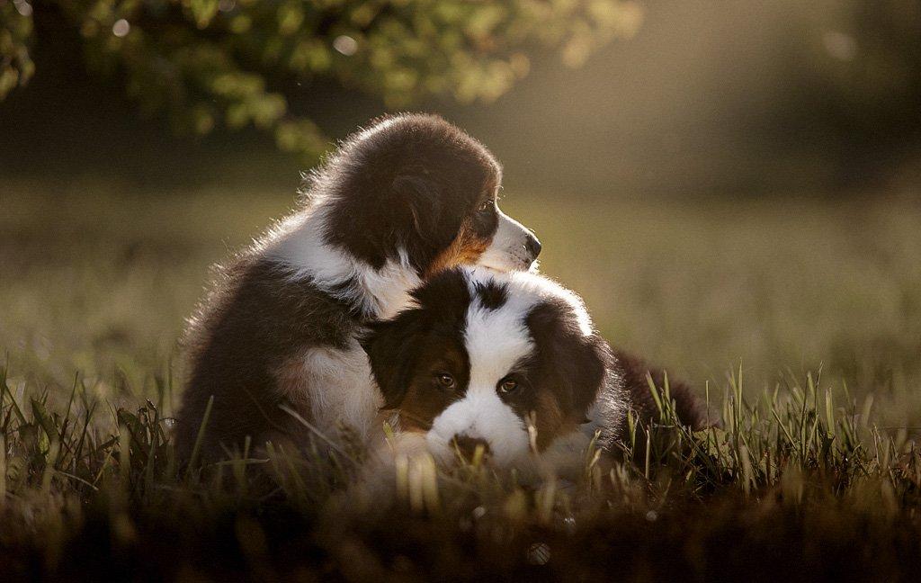 животные, природа, собаки, щенки, аусси, Оксана Серова