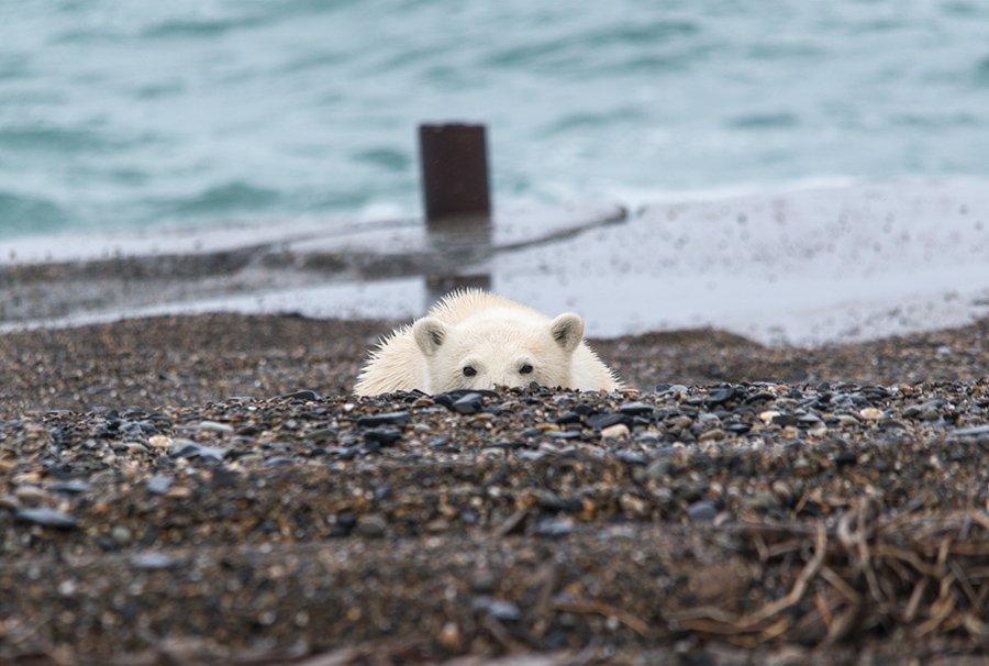 чукотка арктика медведь белый полярный морской берег, Максим Деминов