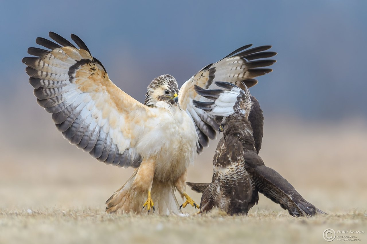 birds, nature, animals, wildlife, colors, meadow, fight, flight, action, nikon, nikkor, lens, lubuskie, poland, Rafał Szozda
