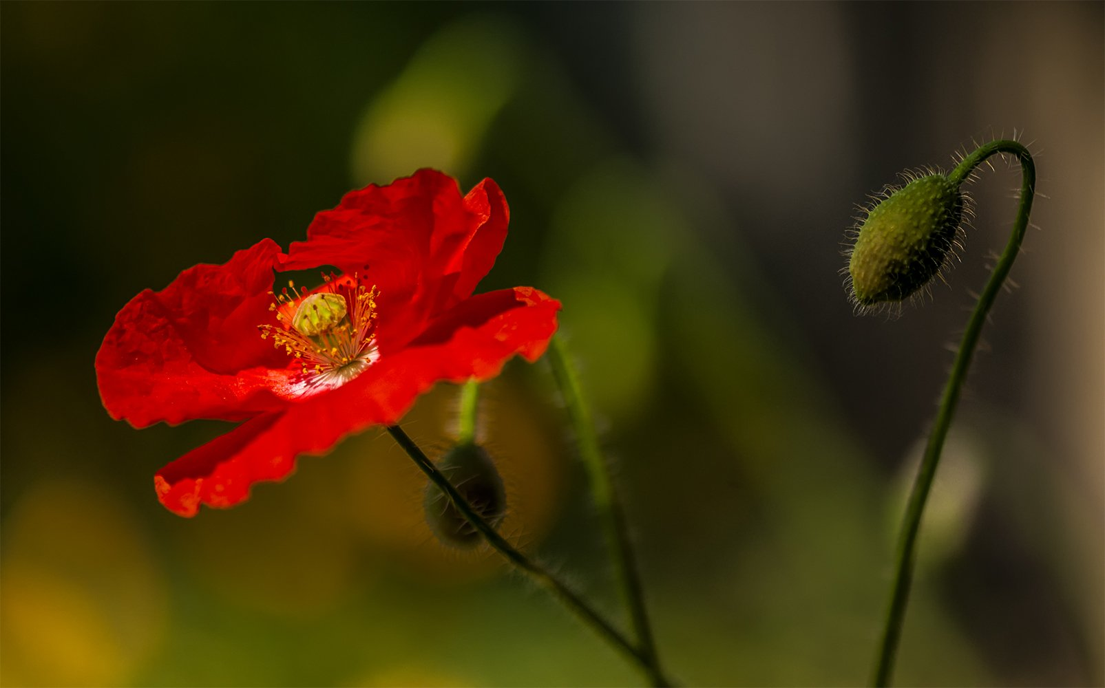 poppy,red,flowers,summer,fields, Daiva Cirtautė
